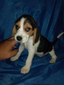 Beagle enanitos puros juguetones