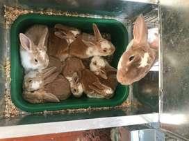 Conejos rex en Bogota