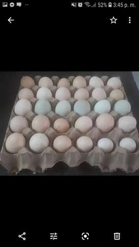 Huevos fertiles