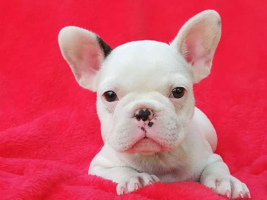 Hermosos Bulldog francés disponibles 0
