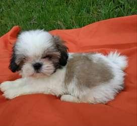 hermoso perrito mini shitzu tricolor de 2 meses