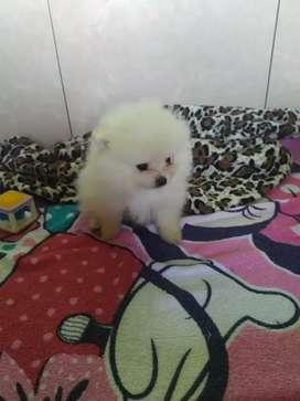Espectaculares Pequeños Pomeranias Lulu  a la venta