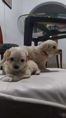 French poodle machos y hembras