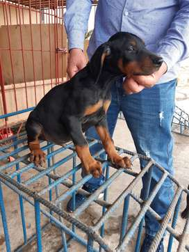 Vendo últimos cachorros Dóberman