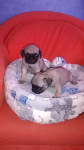 CACHORRITOS DE PUG PATAS CORTAS DISPONIBLES