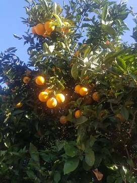 Naranjas Organicas