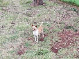 Servicio de monta Chihuahua