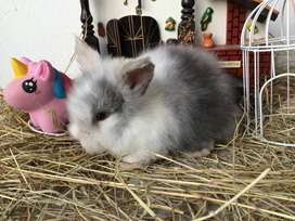 Conejos teddy Bogota.