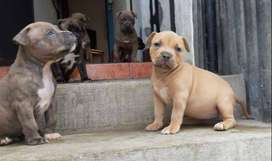 Se venden lindos cachorritos pitbull