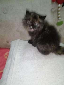 Hermosa gata manchada rojiza para la venta
