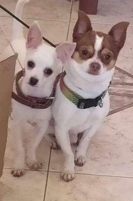 Cachorro chihuhua de tres meses