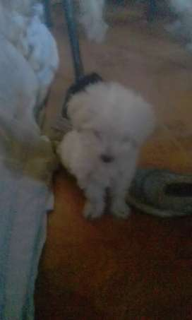 Vendo caniche mini toy .