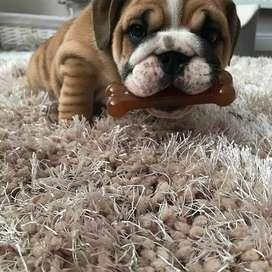 hermosos bulldog ingles de 48 dias con recomendaciones
