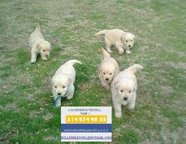 ESPECTACULARES GOLDEN RETRIEVER CACHORROS EN VENTA DOCUMENTADOS - VITAMINIZADOS - CONTRATO DE PUREZA Y SALUD
