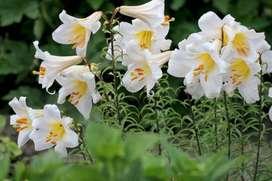 Azucena Lilium Candidum Semillas Importadas
