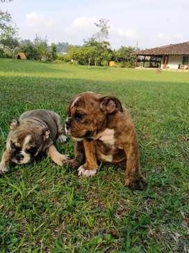 Venta bulldog Inglés