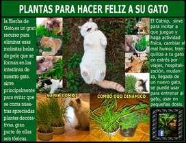 Solo Planta Catnip, menta gatuna, Nepeta Cataria, no semillas