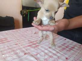 Chihuahua machito