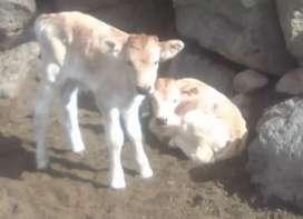 Servicio de pastoreo de vacas con terreno propio