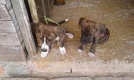 Se vende perro y perra