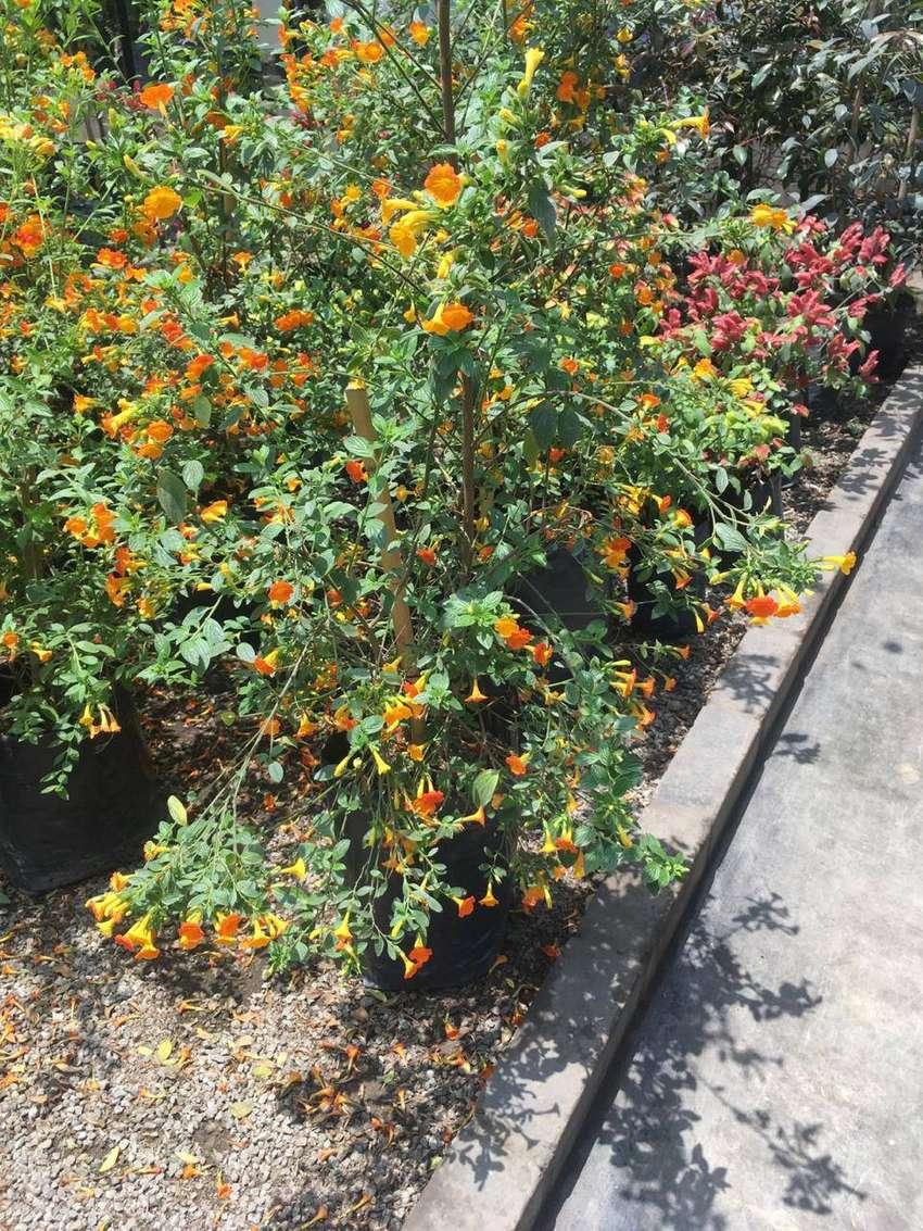 planta mermelada 0