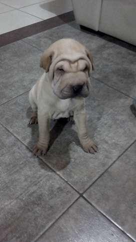 Vendo cachorro shar pei