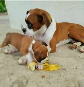 Hermoso cachorro Boxer