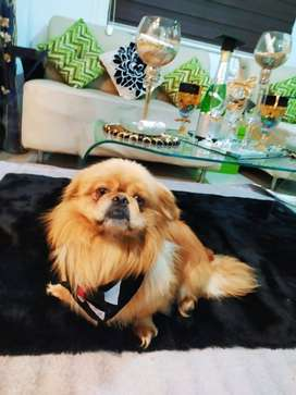 Perro pequinesq cabeza de León