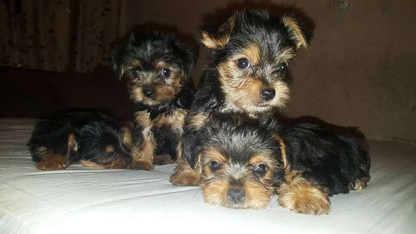 YORKSHIRE TERRIER TOY 0