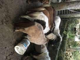 Vendo ponis hermosos