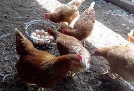 Huevos de corral Gallinas  y Patos- La granja de pachacamac