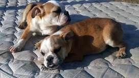 bulldog ingles H