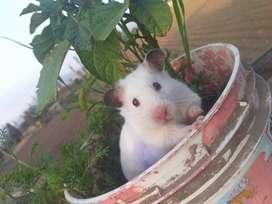 Hamster  en huaral el par a 40 soles un hamster a 20 soles