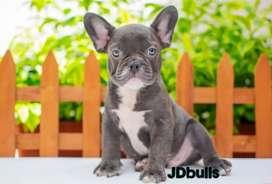 Machitos Bulldog frances Blue