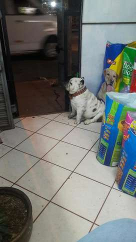 Bulldog Ingles Macho 1 Año Y 8 Meces