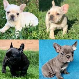 Bulldog Frances Blue, Fawn, Merle, Negro