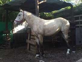 Vendo caballo manzo