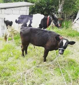 Vendo hermosa vaca holstin en producción con cria