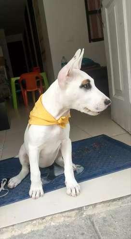 Se vende perra Pitbull terrie