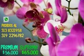 Orquídeas Arcobaleno