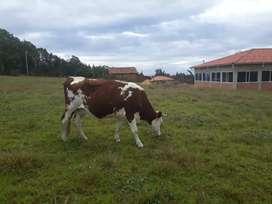 Se vende hermosa vaca
