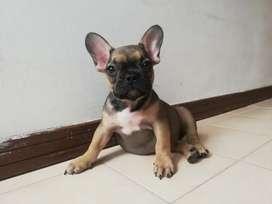 hermoso bulldog frances de 60 dias de nacido con execelente linea genetica muy lindo y cariñ vacuna al dia desparacitado