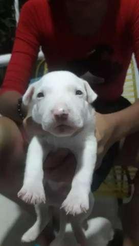 Vendo cachorro bullterrier 500000