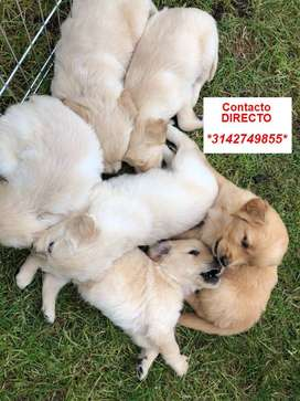 VENTA TIERNOS GOLDEN RETRIEVER