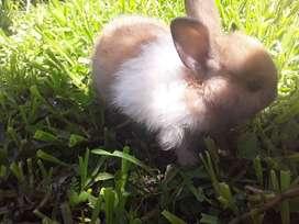 Conejos enanos neterland y honandlop