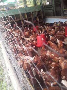 Vendo pollas