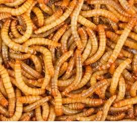 Tenebrios, gusanos de harina