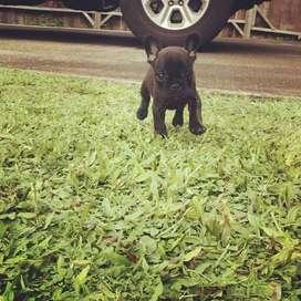 perros hermosos gorditos bulldog frances de 48 dias