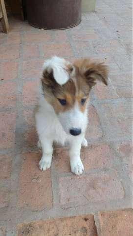 Cachorro Collie Dorado (lassie) MACHO - Vacunado y Desparasitado