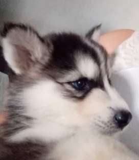 Se vende perritos cachorro
